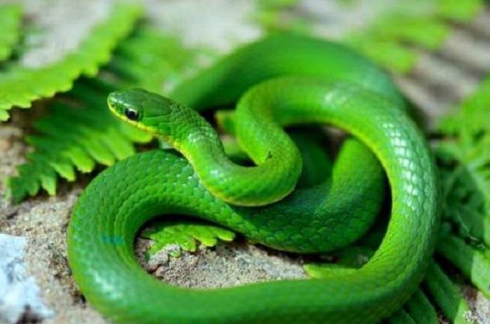 Nằm mơ thấy rắn là điềm gì, đánh con gì?