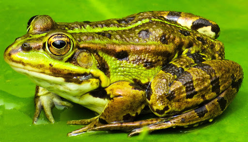 Nằm mơ thấy ếch là điềm gì, đánh con gì?