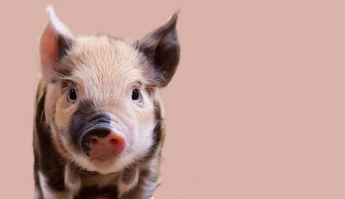 Mơ thấy lợn đánh con gì phát tài? Con số may mắn nhất khi mơ thấy lợn