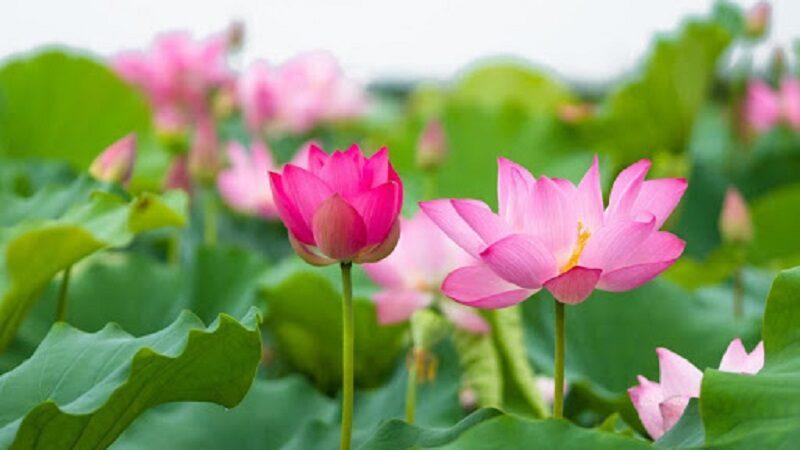 Mơ thấy hoa sen có điềm báo gì? đánh con số nào dễ trúng?