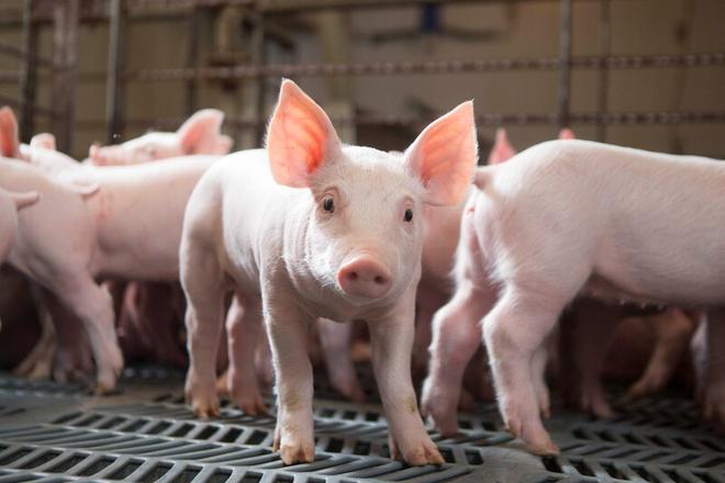Nằm mơ thấy lợn có ý nghĩa gì? Đánh lô đề con nào?