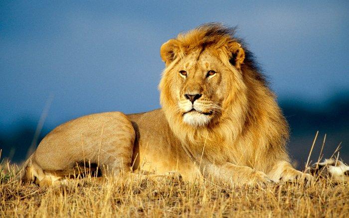 mơ thấy vẽ sư tử
